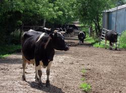 zinniker cows - 250