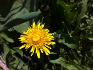 "A dandelion in the ""button"" stage"