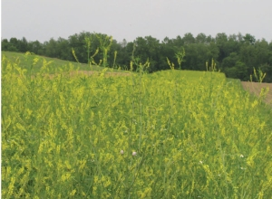 Sweet clover growing in Beaverkil Field