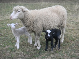 Sheep at the Sacramento Waldorf School (©