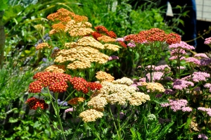 Yarrow Mixed