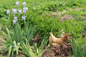 white rose farm - chicken in flowers