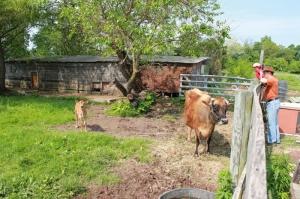 white rose farm - cow and calf