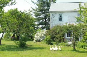 white rose farm- geese and building