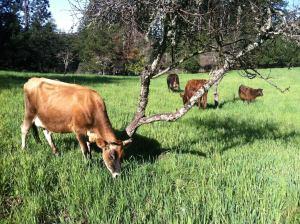 cf cows(1)