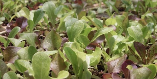 lettuce-starts.jpg